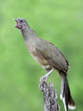 Plain Chachalaca Vocalizing (Ortalis Vetula)  Texas  USA