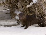 American Mink (Mustela Vison)  USA