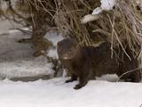American Mink (Mustela Vison)  USA