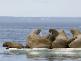 Female Walruses with Pups (Odobenus Rosmarus) on Pack Ice