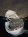 Lemon Shark with Open Mouth at the Ocean Surface  Showing its Sharp Teeth (Negaprion Brevirostris)