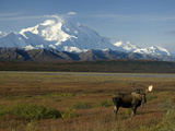 Bull Moose on the Tundra with Mt Mckinley in The Background  Alaska  USA