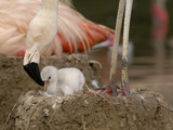 Chilean Flamingo (Phoenicopterus Chilensis) Adult with Small Chick in the Nest  Captive