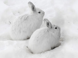 Snowshoe Hares in Winter Pelage Camouflaged in Snow (Lepus Americanus)  Alaska  USA