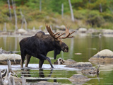 Male Moose (Alces Alces)  Baxter State Park  Millinocket  Maine  USA