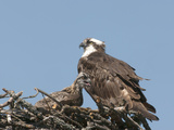 Female and Young Osprey (Pandion Haliaetus) at Nest  Flathead Lake  Montana  USA