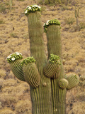 Saguaro Cactus (Carnegiea Gigantea) in Bloom  Sonoran Desert  Arizona  USA