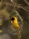 Masked Weaver (Ploceus Velatus) Male Weaving a Nest  Kruger National Park  South Africa