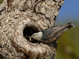 White-Breasted Nuthatch (Sitta Carolinensis) Feeding Chicks in a Nest Hole of a Tree  Arizona  USA