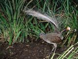 Superb Lyrebird (Menura Novaehollandiae)  Victoria  Australia