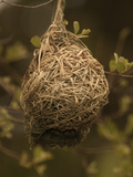 Masked Weaver (Ploceus Velatus) Nest  Kruger National Park  South Africa