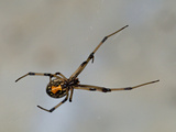 Young Black Widow Spider (Latrodectus Mactans)  Florida  USA