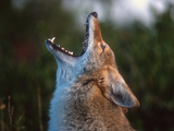 Coyote (Canis Latrans) Howling  Wyoming  USA