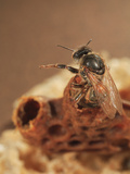 Queen Honey Bee Emerging from its Cell
