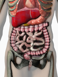 Biomedical Illustration of the Human Abdomen and Thorax Showing the Major Organs