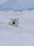 Male Polar Bear (Ursus Maritimus)Patrols Along the Floe Edge in Search of Food
