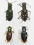Tiger Beetle Collection