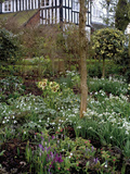 Garden with Lenten Rose (Helleborus Orientalis)  Crocus  and Snowdrops