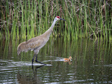 Sandhill Crane Adult with Swimming Chick (Grus Canadensis)  Florida  USA
