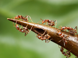 Thorns on a Swollen Thorn Acacia House the Ants&#39; Larvae are Heavily Guarded