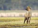 Spotted Hyena Juvenile (Crocuta Crocuta)  Kenya
