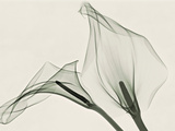 X-Ray of Calla Lily Flowers