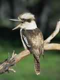 Laughing Kookaburra (Dacelo Novaeguineae)  Victoria  Australia