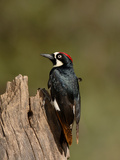 Acorn Woodpecker (Melanerpes Formicivorus)  Arizona  USA