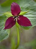Red Trillium (Trillium Erectum)  Vermont  USA