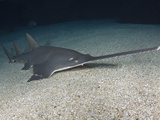 Largetooth Sawfish (Pristis Microdon)  an Inhabitant of Both Fresh and Saltwater Environments