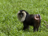 Lion-Tailed Macaque (Macaca Silesus)  Captive
