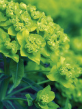 Flowering Spurge (Euphorbia Palustris)