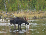 Male Moose (Alces Alces) Drinking Water  Baxter State Park  Millinocket  Maine  USA