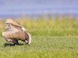 Sandhill Crane Juvenile Preening (Grus Canadensis)  Florida  USA