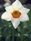 Narcissus Flower  Flower Record Variety