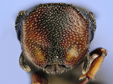 Ant Head (Cephalotes Angustus)