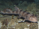 Whitespotted Bamboo Shark (Chiloscyllium Plagiosum)  Indo-Pacific Region