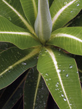 Raindrops on Spurge Leaves (Euphorbia Stygiana)