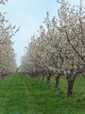Flowering Cherry Orchard  Mason County  Michigan  USA