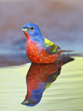 Painted Bunting Male Sitting in Water (Passerina Ciris)  Texas  USA