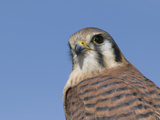 Female American Kestrel (Falco Sparverius)  San Juan Mountains  New Mexico