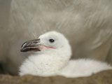 Black-Browed Albatross Chick in the Nest (Diomedea Melanophris)  Falkland Islands