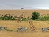 Masai Giraffes (Giraffa Camelopardalis Tippelskirchi) and Burchells Zebra (Equus Burchelli)  Kenya