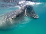 Whale Shark (Rhincodon Typus) Feeding in the Plankton Rich Waters around Holbox Island  Mexico