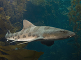 Leopard Shark (Triakis Semifasciata)  California  USA  Eastern Pacific Ocean