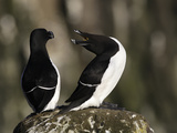 Razorbills (Alca Torda)  Iceland