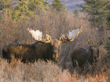Bull and Cow Moose in Rut in the Autumn Boreal Forest  (Alces Alces)  Alaska  USA