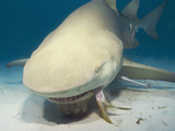 Lemon Shark (Negaprion Brevirostris) Eating a Fish  Tiger Beach