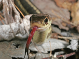 Garter Snake Head Showing the Forked Tongue Extended (Thamnophis Sirtalis)