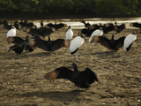 Black Vultures and Wood Storks (Waiting for Olive Ridley Sea Turtle Hatchlings to Emerge